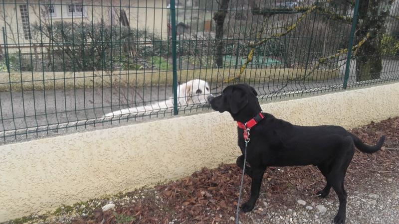 Notre Etoile Sirius 1er chien de la maison (type labrador) - Page 2 20171215