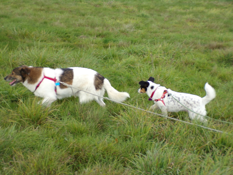 LINDA - chienne croisée de petite taille, née environ en juillet 2014. Joueuse et amicale (Pascani) - adoptée par Delphine (18) 100_0110