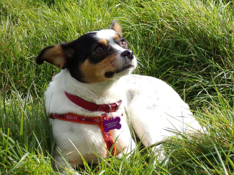 LINDA - chienne croisée de petite taille, née environ en juillet 2014. Joueuse et amicale (Pascani) - adoptée par Delphine (18) 100_0112