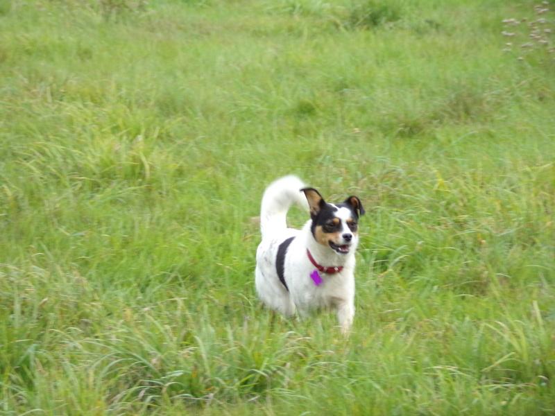 LINDA - chienne croisée de petite taille, née environ en juillet 2014. Joueuse et amicale (Pascani) - adoptée par Delphine (18) 100_0216