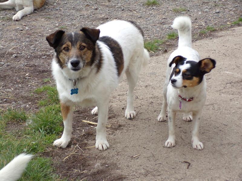 LINDA - chienne croisée de petite taille, née environ en juillet 2014. Joueuse et amicale (Pascani) - adoptée par Delphine (18) 100_0220