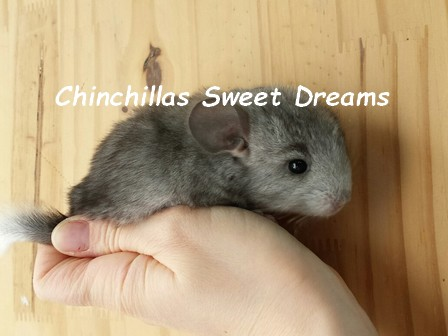 Chinchilla Forum Sweet Dreams depuis 2006