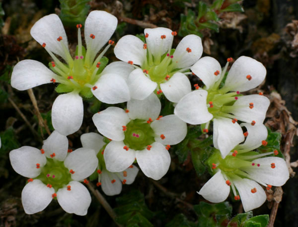 Saxifrages en 2011. - Page 2 Img_1410