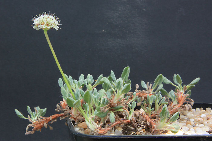Eriogonum and Co Img_4415