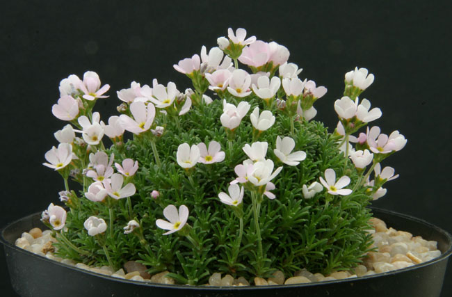 quelques androsaces en fleurs!! Img_4610