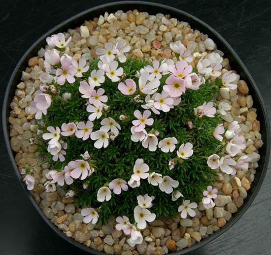 quelques androsaces en fleurs!! Img_4612