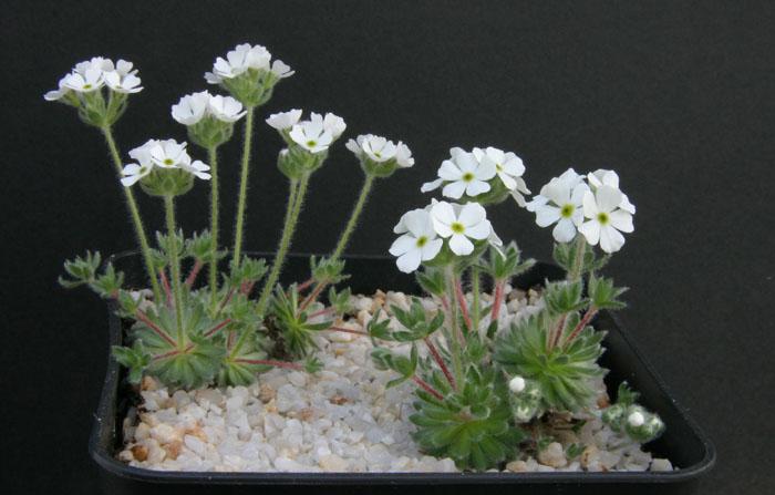 quelques androsaces en fleurs!! Img_5114