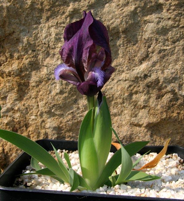 Le 1er iris barbu en fleur - Page 2 Img_5316