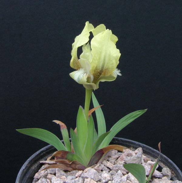 Le 1er iris barbu en fleur - Page 2 Img_5410