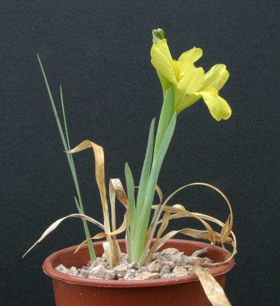 Le 1er iris barbu en fleur - Page 2 Img_5411