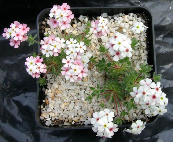 quelques androsaces en fleurs!! Img_5415