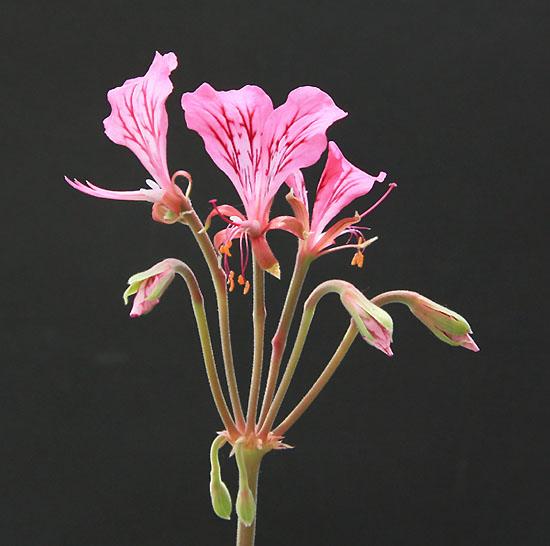 Pelargonium endlicherianum  Img_5623