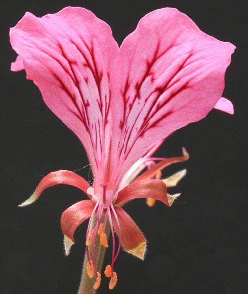 Pelargonium endlicherianum  Img_5626