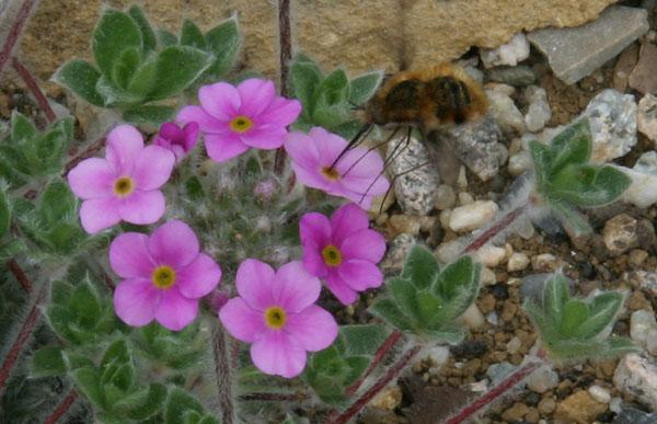 quelques androsaces en fleurs!! - Page 2 Img_5913