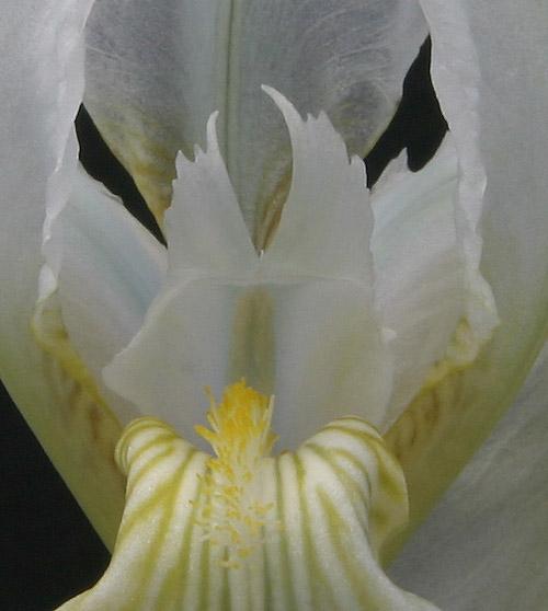 Le 1er iris barbu en fleur - Page 2 Img_6011