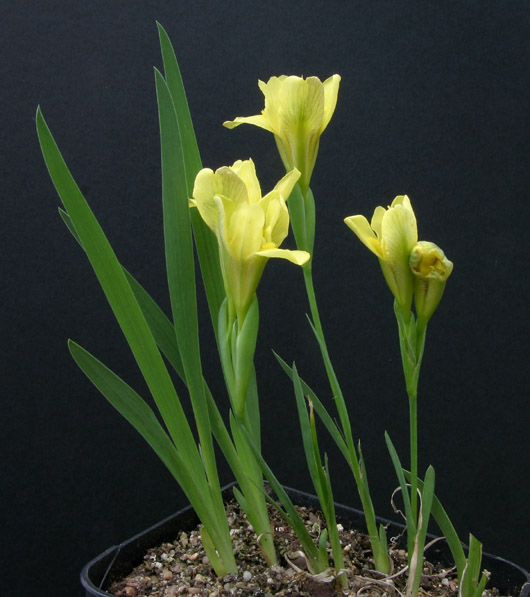 Le 1er iris barbu en fleur - Page 2 Img_6013