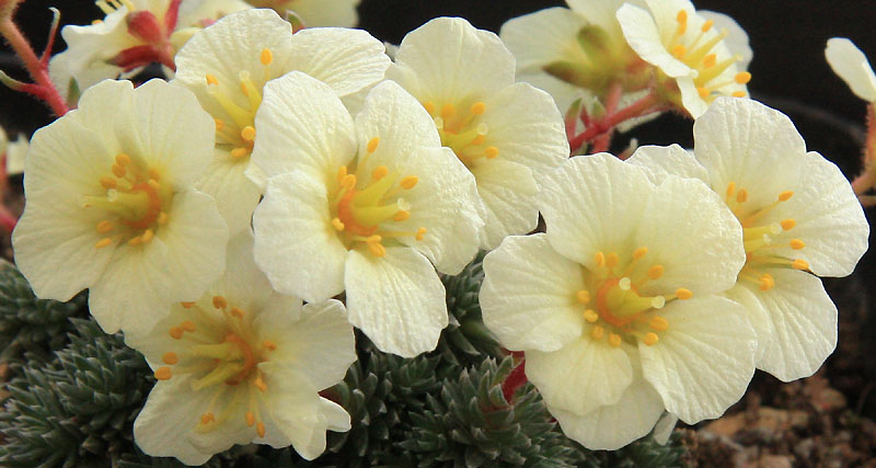 Saxifrages en 2011. - Page 2 Img_7314