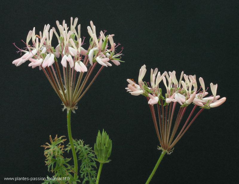 Pelargonium rapaceum Img_7810