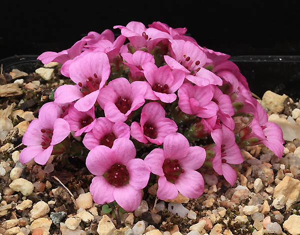 Saxifrages en 2011. - Page 2 Img_7814