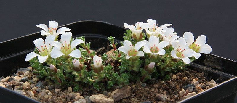 Saxifrages en 2011. - Page 2 Img_7815