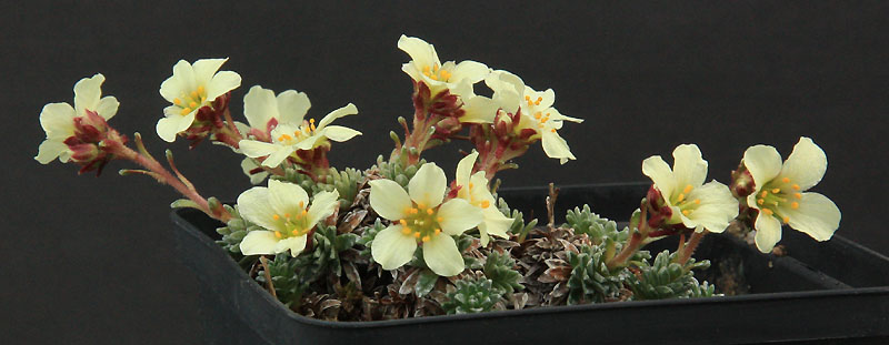 Saxifrages en 2011. - Page 2 Img_8612