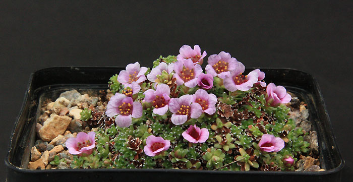 Saxifrages en 2011. - Page 2 Img_8911