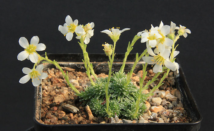 Saxifrages en 2011. - Page 2 Img_9310