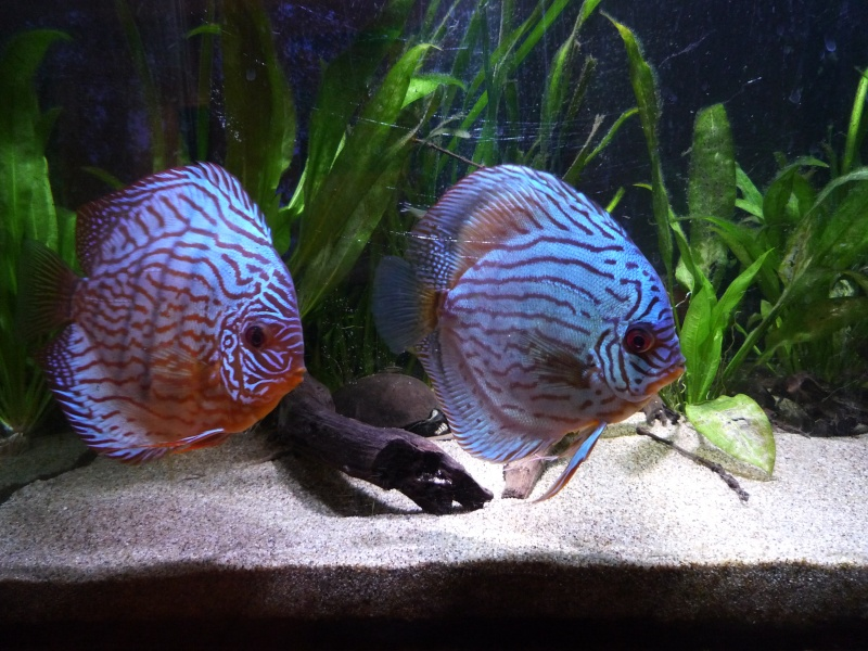 quelle difference ? Discus16