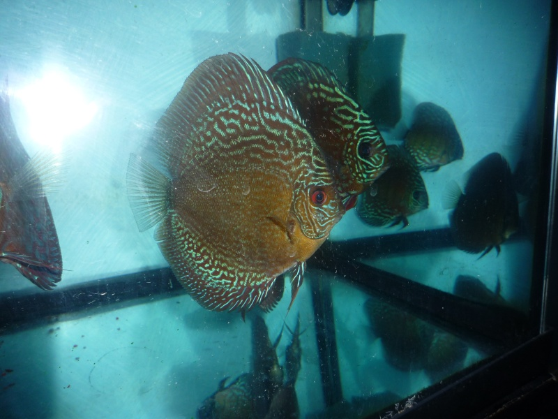 Evolution discus Phong_21