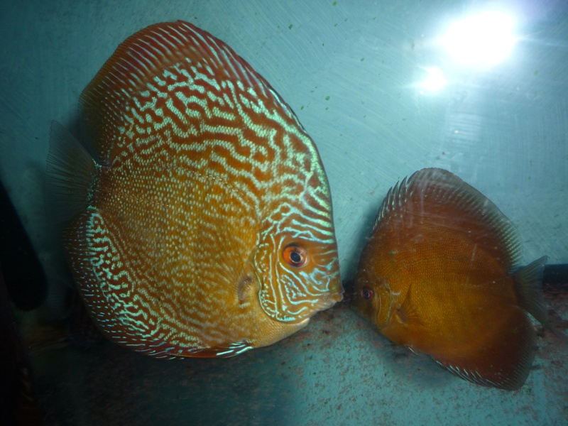 Evolution discus Phong_24