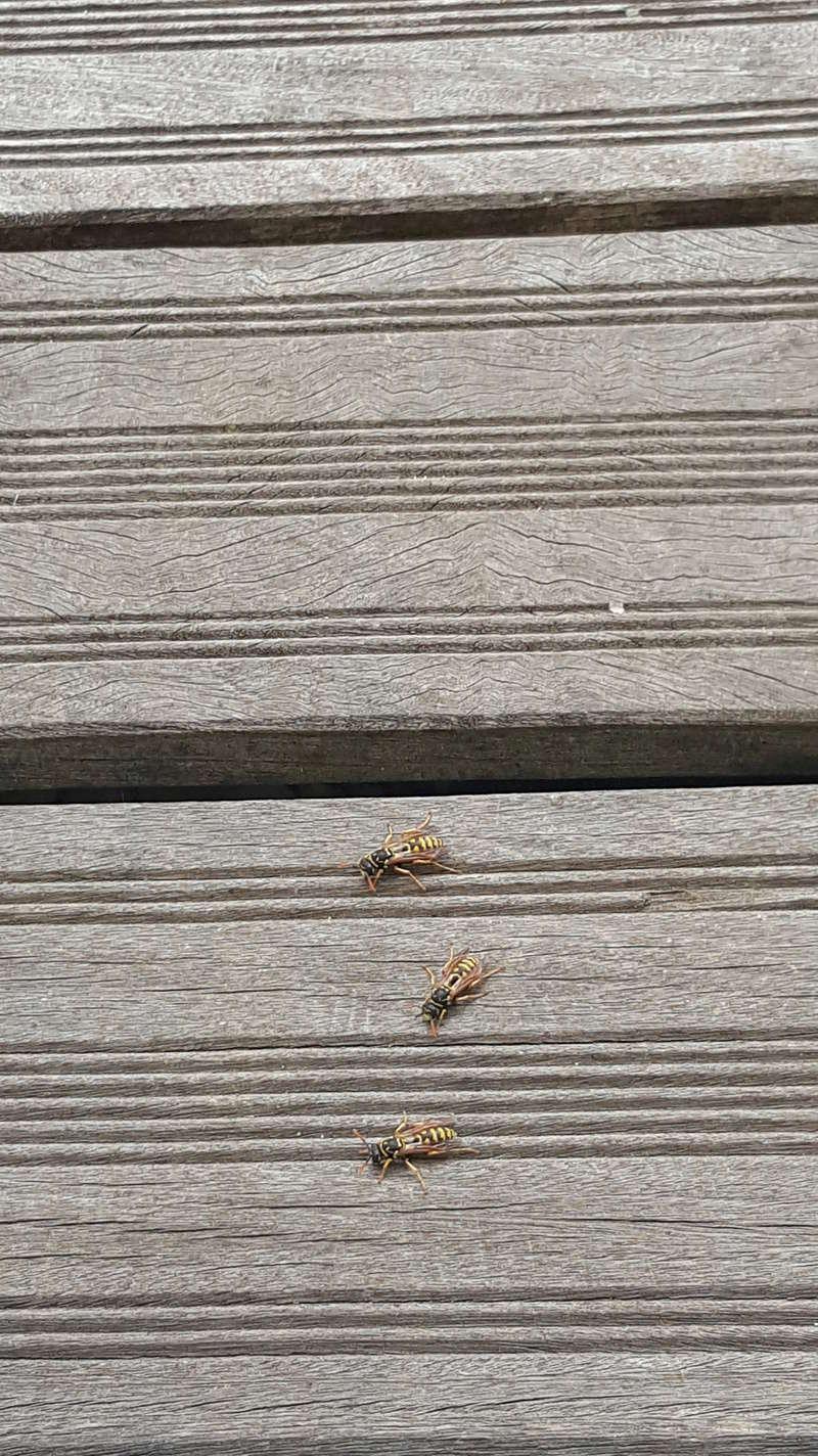 Nid de guêpes sous notre terrasse 15237110