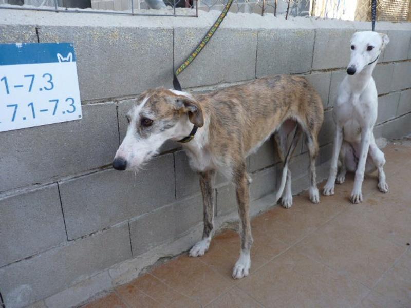 Aisha tendre et douce galga  Adoptée  Aisha_12