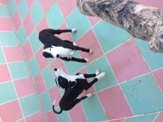 """Aragon petit galgo de 4 mois à l'adoption """"Scooby France Adopté  Image310"""