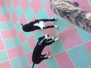 """Aragon petit galgo de 4 mois à l'adoption """"Scooby France Adopté  Image410"""