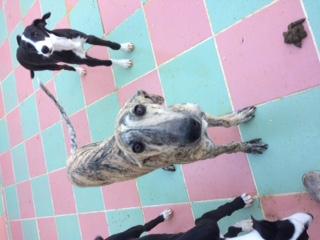 """Aragon petit galgo de 4 mois à l'adoption """"Scooby France Adopté  Image810"""