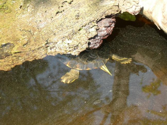 notre bassin pour tortues... Corian14