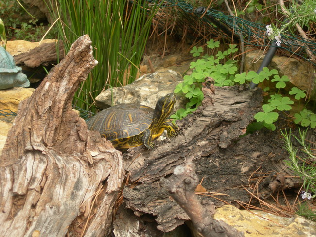 notre bassin pour tortues... - Page 2 Curry_22