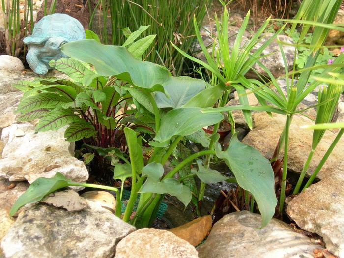 notre bassin pour tortues... - Page 2 Plante10