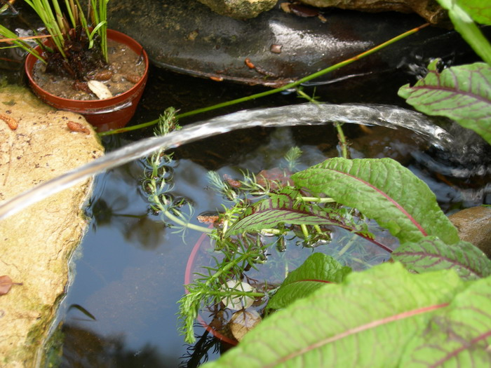 notre bassin pour tortues... - Page 2 Plante11