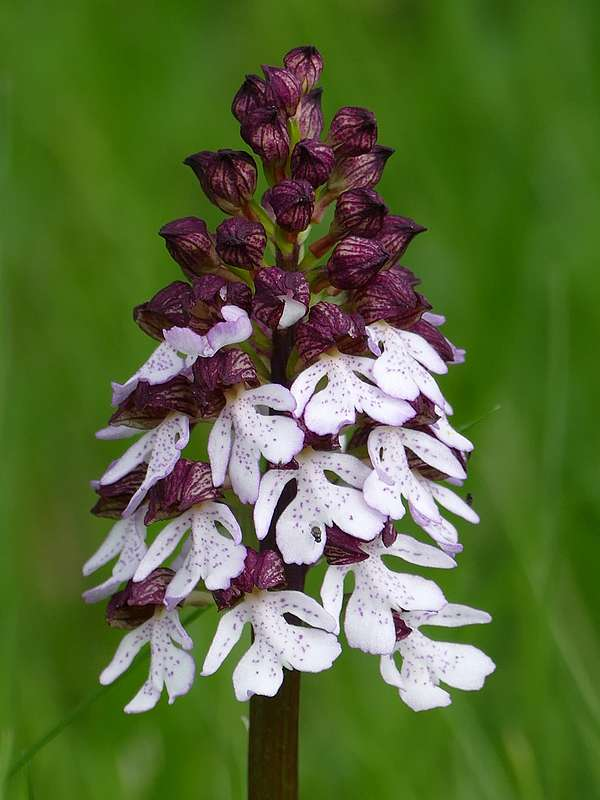 Orchis purpurea normandes Copie_19
