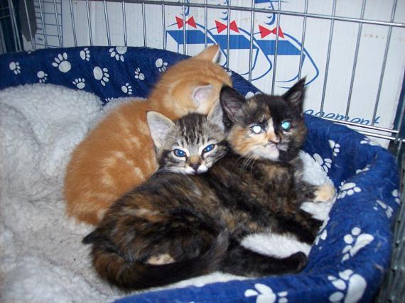 Petit rouquinou chaton mâle (60) 100_2411