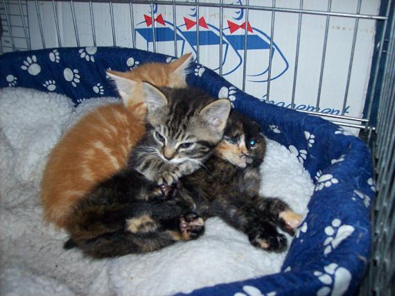 Petit rouquinou chaton mâle (60) 100_2412