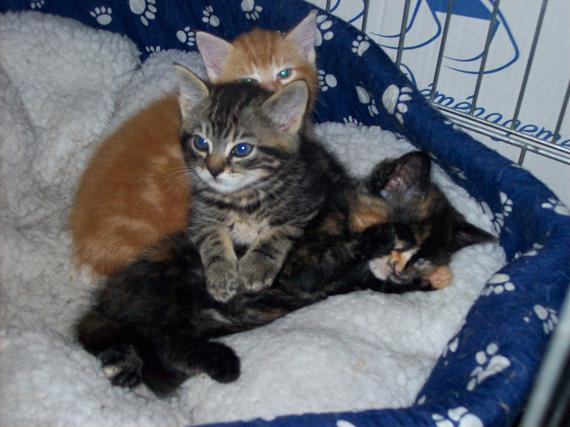 Petit rouquinou chaton mâle (60) 100_2413