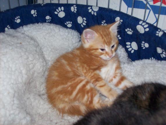 Petit rouquinou chaton mâle (60) 100_2414