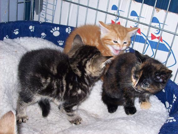 Petit rouquinou chaton mâle (60) 100_2415