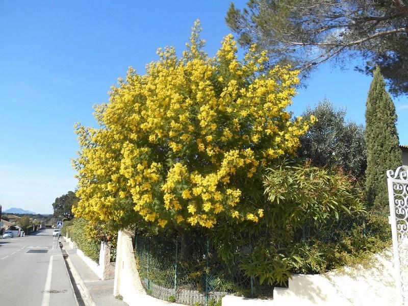 Un bonjour de la Côte d'Azur Mimosa10