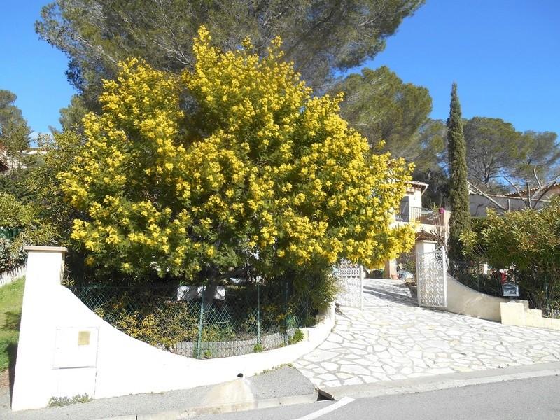 Un bonjour de la Côte d'Azur Mimosa11