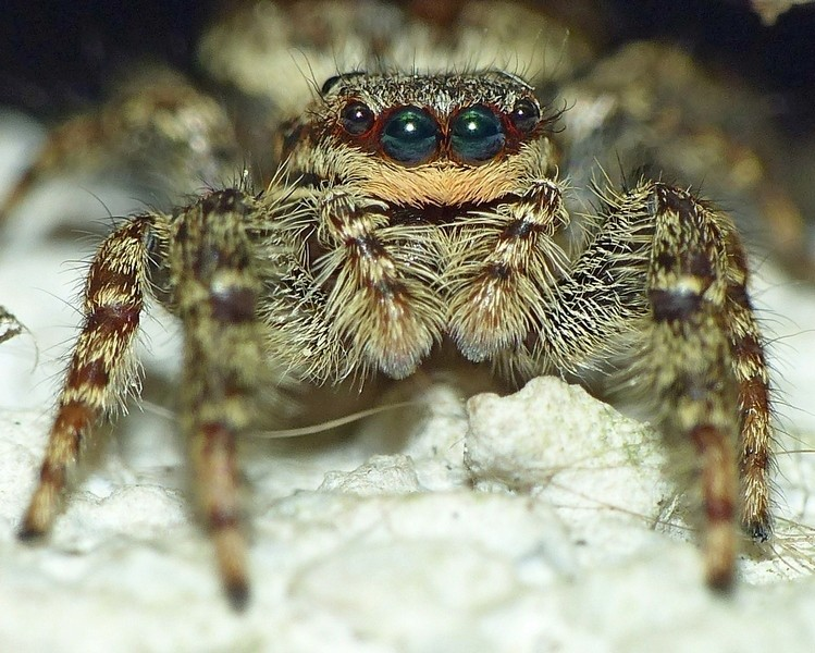 Araignée sauteuse... Marpissa muscosa 21_05_10