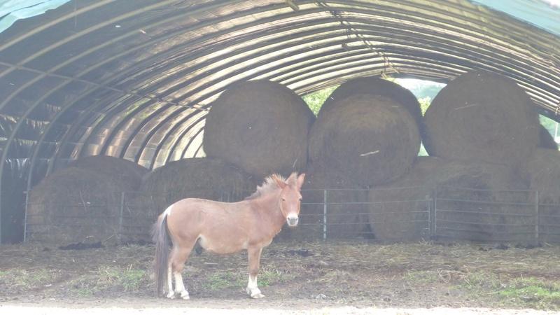 (87) ZIGZAG - ONC mulet entier né en 2004 - A PARRAINER 33436610