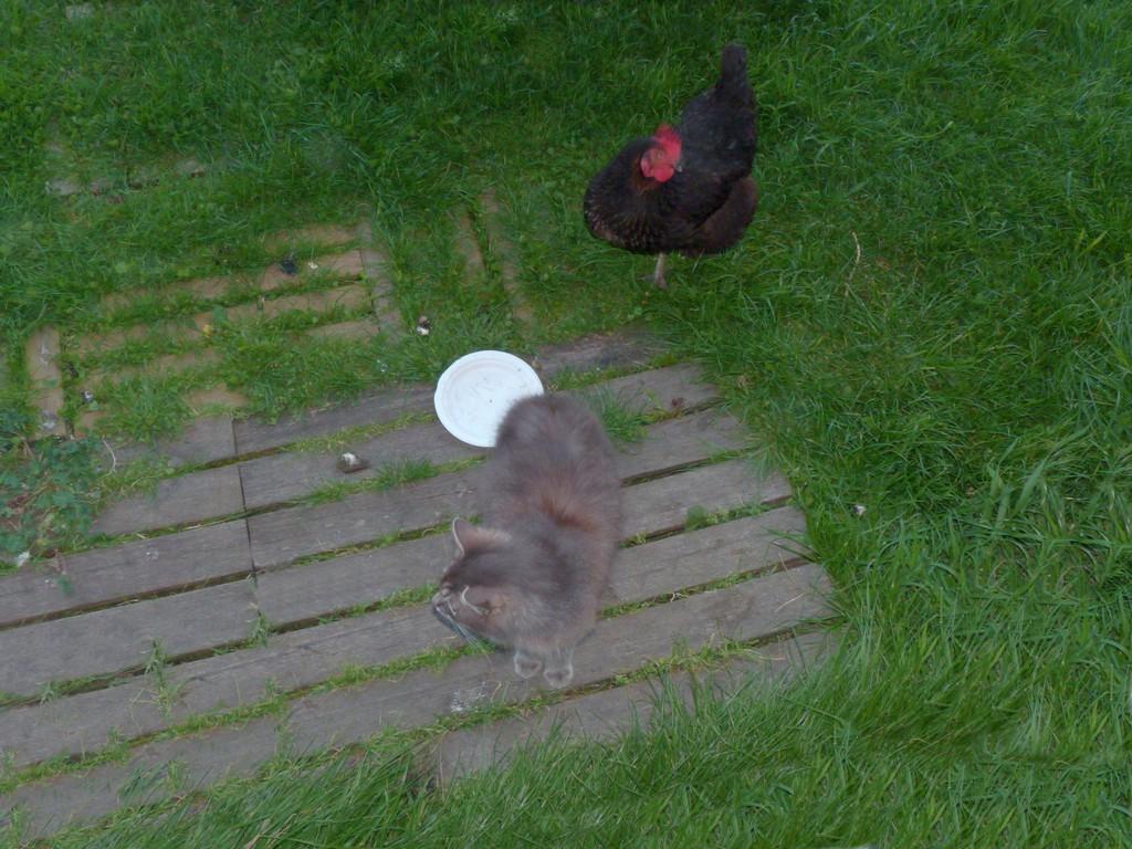 Le chat et la poule ! P1040111